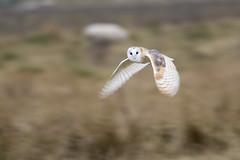 Barn Owl (Donna Joyce) Tags: barnowl birdofprey owl kentwildlifetrust kent nikon d500