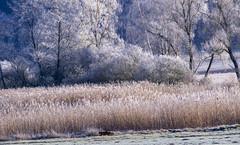 Lindauer Moor 210120-61 (martinritter1) Tags: fox fuchs moor winter natur frost baum