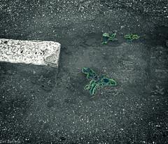 Abgesoffen --- Drowned (der Sekretär) Tags: asphalt detail gewächs lache pflanze pfütze strasse strassenbelag wasser bleak closeup growth nass plant puddle road roadsurface roadsurfacing street trostlos water wet