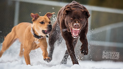 Freeze Frame Friday 0001 (Keshet Kennels & Rescue) Tags: adoption dog dogs canine ottawa ontario canada keshet breed animal animals kennel rescue pet pets nature photography chocolate lab snarl teeth growl two chase run speed