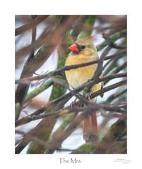 The Mrs. (baldwinm16) Tags: backyard birds cardinal season wildlife winter song bird female natureofthingsphotography