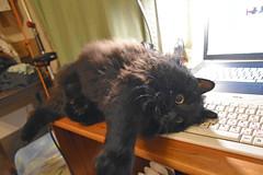 Happy Caturfay! (Caulker) Tags: cat desk computer
