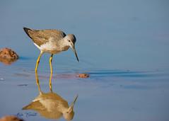0D9A2858 (erenatial) Tags: shore bird greater yellowlegs shorebird