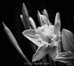 Day 24. (lizzieisdizzy) Tags: daffodil plant flower seasconal easterbulb blackandwhite blackwhite black monochrome mono monotone monochromatic chromatic flora openflower bud buds stem stalk stalks closeup