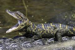 Mr. Big Mouth (VankoVision) Tags: vankovision nature reptiles herps alligator florida viera baby