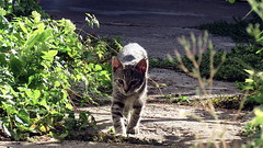 IMG_1233 (Attila H.) Tags: animal cat