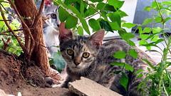 IMG_1234 (Attila H.) Tags: animal cat