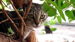 IMG_1239 (Attila H.) Tags: animal cat
