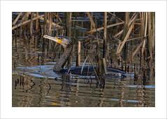 Cormorant swimming (prendergasttony) Tags: bird nature nikon d7200 wildlife birding pennington tonyprendergast elements nesting water swim border birdwatching beak
