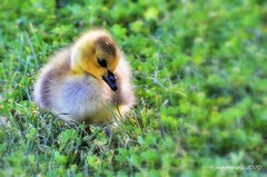 CAMERA SHY ... (DSC_5449) (jmaphotography) Tags: smileonsaturday fluff chick canadagoosechick canadagoose fluffy