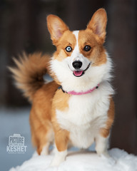 Picture of the Day (Keshet Kennels & Rescue) Tags: adoption dog dogs canine ottawa ontario canada keshet breed animal animals kennel rescue pet pets nature photography welsh corgi cute smile little