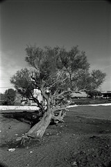 Tilting Tree (IMG_0032mod) (AngusInShetland) Tags: almeria tree beach andalucia andalusia spain vivitar28200f3553zoom europe dynax7000i analogue minolta maxxum 35mm ilford hp5 hp5400 canoscan5600f