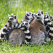 Five lemurs in the grass