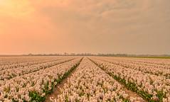 A Tender Light. (Alex-de-Haas) Tags: 1635mm d500 dutch europa europe holland nederland nederlands netherlands nikkor nikkor1635mm nikon nikond500 noordholland agriculture akkerbouw beautiful beauty bloemen bloemenvelden boerenland bollenvelden bulbfields farmland farming flowerfields flowers hyacint hyacinten hyacinth hyacinths landbouw landscape landscapephotography landschaft landschap landschapsfotografie lente lucht mooi polder pracht schoonheid skies sky spring sundown sunset zonsondergang burgerbrug northholland