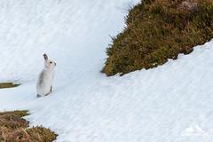 Mountain Hare (Karen Miller Photography) Tags: hare mountainhare scotland scottishwildlife scottishhighlands nikon d500 nikkor300mmf4 grouse moor winter white animal mammal nature habitat behaviour lepustimidus