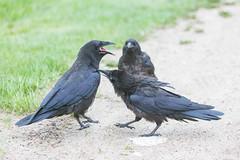 1024_lrf_5F3A2227_140613 (Paul Lantz) Tags: corax corvid corvus mist moosonee
