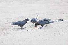 1024_lrf_5F3A2197_140613 (Paul Lantz) Tags: corax corvid corvus mist moosonee