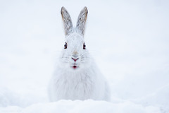 Wascally Wabbit !! (NicoleW0000) Tags: snowshoehare hare rabbit bunny animal cute wild winter wildlife nature photo print snow