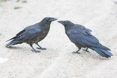 1024_lrf_5F3A2219_140613 (Paul Lantz) Tags: corax corvid corvus mist moosonee