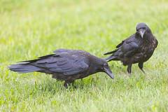 1024_lrf_5F3A2211_140613 (Paul Lantz) Tags: corax corvid corvus mist moosonee