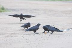1024_lrf_5F3A2195_140613 (Paul Lantz) Tags: corax corvid corvus mist moosonee