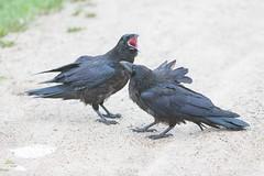 1024_lrf_5F3A2220_140613 (Paul Lantz) Tags: corax corvid corvus mist moosonee