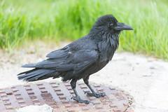 1024_lrf_5F3A2208_140613 (Paul Lantz) Tags: corax corvid corvus mist moosonee