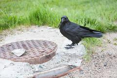 1024_lrf_5F3A2202_140613 (Paul Lantz) Tags: corax corvid corvus mist moosonee