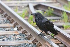 1024_lrf_5F3A2239_140613 (Paul Lantz) Tags: corax corvid corvus mist moosonee