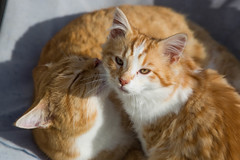 Brother Says It's Bath Time (K. S. Veitch Photography) Tags: cat kitten orange gold white longhairedcoat shorthair domestic feline felix boom boomer siblings