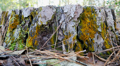 Colorful lichen and moss on a tree stump (Monceau) Tags: colorful lichen moss tree stump yellow green
