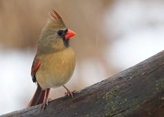 E1240374xxx (johnthomas49) Tags: getolympus kensington cardinal female wet em1mk2