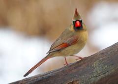 E1240367xx (johnthomas49) Tags: getolympus kensington cardinal female wet em1mk2