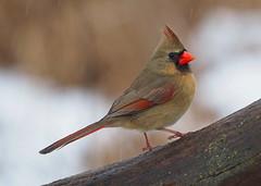 E1240365xxx (johnthomas49) Tags: getolympus kensington cardinal female wet em1mk2
