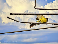 IMG_0175_2_edit (cnajhar2) Tags: suiriri tropicalkingbird ave bird