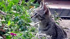 IMG_0935 (Attila H.) Tags: animal cat