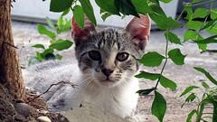 IMG_1235 (Attila H.) Tags: animal cat