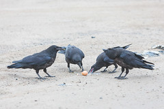 1024_lrf_5F3A2198_140613 (Paul Lantz) Tags: corax corvid corvus mist moosonee