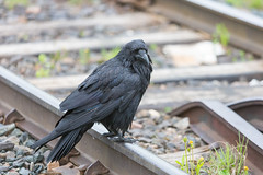 1024_lrf_5F3A2243_140613 (Paul Lantz) Tags: corax corvid corvus mist moosonee