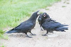 1024_lrf_5F3A2233_140613 (Paul Lantz) Tags: corax corvid corvus mist moosonee