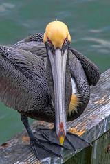 If eyes could kill !!!! (riclane) Tags: pelicanbird ocean florida eyes stare gaze honeymoonislandhdr nikon