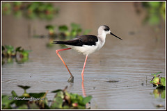 9560 - black winged stilt (chandrasekaran a 64 lakhs views Thanks to all.) Tags: blackwingedstilt birds nature india ramsarsite marsh wetlands chilicalake odisha mangalajodi canoneos6dmarkii tamronsp150600mmg2