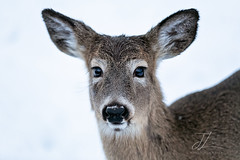 Young Fawn Portrait (Jenna Lynn Photography) Tags: deer whitetail fawn winter snow white fur animal mammal nature wildlife