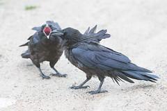 1024_lrf_5F3A2225_140613 (Paul Lantz) Tags: corax corvid corvus mist moosonee