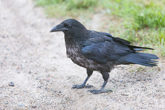 1024_lrf_5F3A2204_140613 (Paul Lantz) Tags: corax corvid corvus mist moosonee
