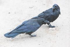 1024_lrf_5F3A2214_140613 (Paul Lantz) Tags: corax corvid corvus mist moosonee