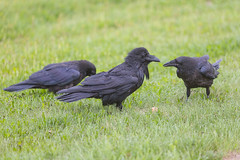 1024_lrf_5F3A2205_140613 (Paul Lantz) Tags: corax corvid corvus mist moosonee