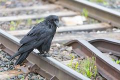1024_lrf_5F3A2244_140613 (Paul Lantz) Tags: corax corvid corvus mist moosonee