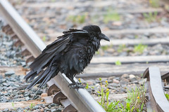 1024_lrf_5F3A2241_140613 (Paul Lantz) Tags: corax corvid corvus mist moosonee