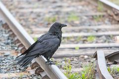 1024_lrf_5F3A2240_140613 (Paul Lantz) Tags: corax corvid corvus mist moosonee
